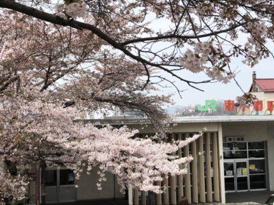 南小樽駅桜
