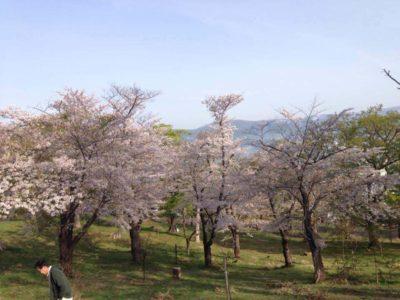 手宮公園桜
