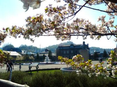日本郵船桜