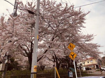 高橋農園の桜
