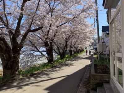 小樽桜並木