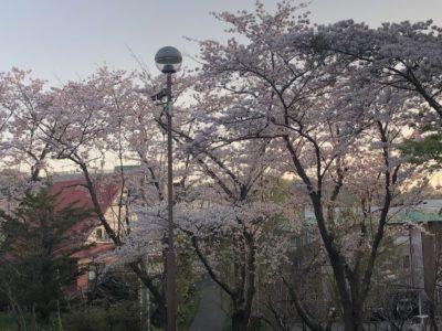 平磯公園桜